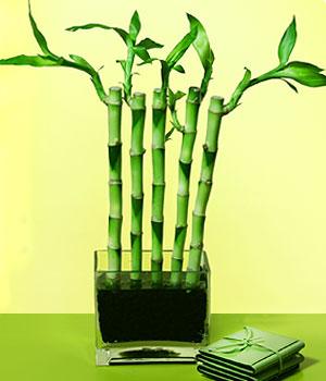 Kahramanmaraş çiçek gönderme  Good Harmony Lucky Bamboo camda