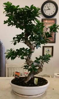 100 cm yüksekliğinde dev bonsai japon ağacı  Kahramanmaraş internetten çiçek siparişi