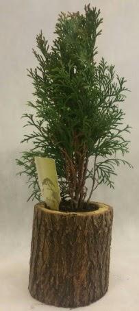 SINIRLI STOK Selvi Bonsai Doğal kütükte  Kahramanmaraş internetten çiçek siparişi