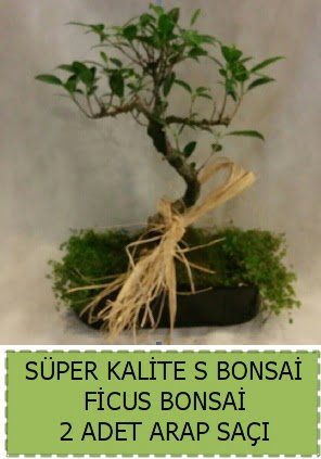 Ficus S Bonsai ve arap saçı  Kahramanmaraş cicekciler , cicek siparisi