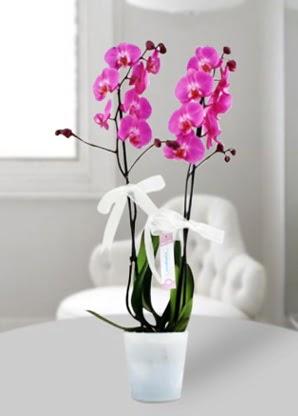 Çift dallı mor orkide  Kahramanmaraş kaliteli taze ve ucuz çiçekler