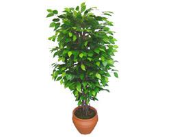 Ficus Benjamin 1,50 cm   Kahramanmaraş çiçek gönderme