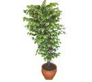 Ficus özel Starlight 1,75 cm   Kahramanmaraş çiçek yolla , çiçek gönder , çiçekçi