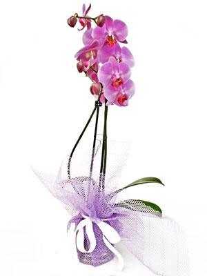Kahramanmaraş çiçek gönderme  Kaliteli ithal saksida orkide