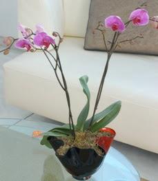 Kahramanmaraş çiçek online çiçek siparişi  tek dal ikili orkide saksi çiçegi