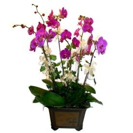 Kahramanmaraş çiçek yolla , çiçek gönder , çiçekçi   4 adet orkide çiçegi