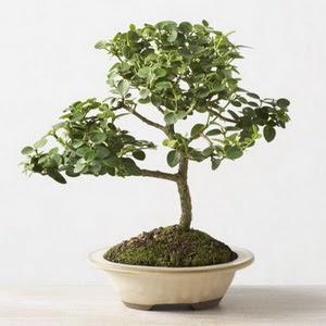 ithal bonsai saksi çiçegi  Kahramanmaraş çiçek satışı