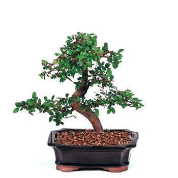 ithal bonsai saksi çiçegi  Kahramanmaraş yurtiçi ve yurtdışı çiçek siparişi