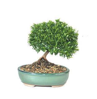 ithal bonsai saksi çiçegi  Kahramanmaraş İnternetten çiçek siparişi
