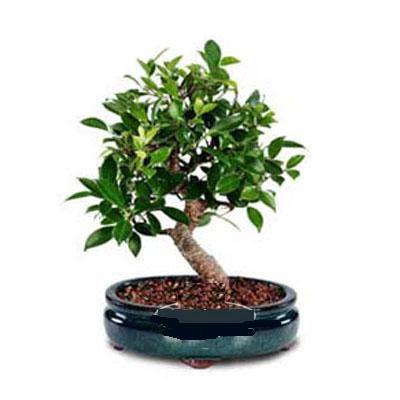 ithal bonsai saksi çiçegi  Kahramanmaraş çiçek servisi , çiçekçi adresleri