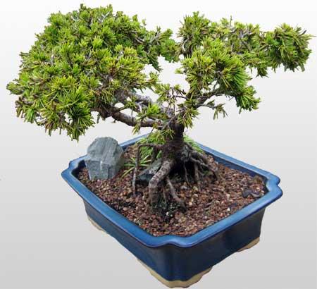 ithal bonsai saksi çiçegi  Kahramanmaraş çiçek online çiçek siparişi