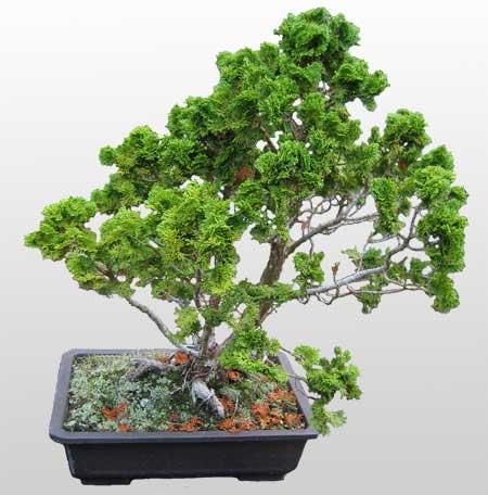 ithal bonsai saksi çiçegi  Kahramanmaraş internetten çiçek siparişi