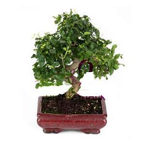ithal bonsai saksi çiçegi  Kahramanmaraş çiçek gönderme
