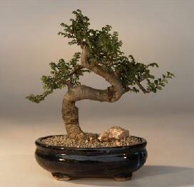 ithal bonsai saksi çiçegi  Kahramanmaraş çiçek yolla