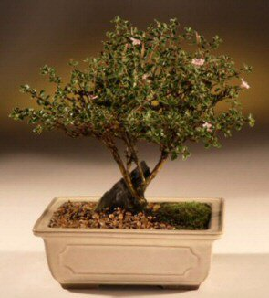 ithal bonsai saksi çiçegi  Kahramanmaraş ucuz çiçek gönder