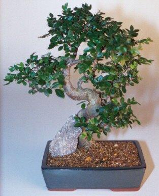 Kahramanmaraş çiçek siparişi vermek  ithal bonsai saksi çiçegi  Kahramanmaraş çiçek servisi , çiçekçi adresleri
