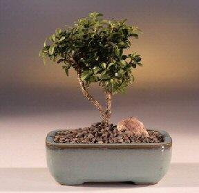 Kahramanmaraş online çiçek gönderme sipariş  ithal bonsai saksi çiçegi  Kahramanmaraş çiçek mağazası , çiçekçi adresleri