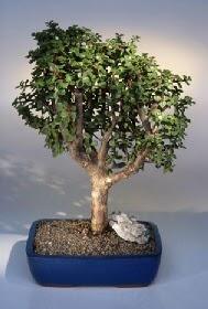 Kahramanmaraş cicek , cicekci  ithal bonsai saksi çiçegi  Kahramanmaraş kaliteli taze ve ucuz çiçekler