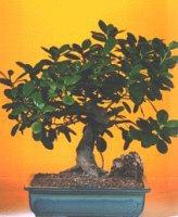 Kahramanmaraş cicekciler , cicek siparisi  ithal bonsai saksi çiçegi  Kahramanmaraş güvenli kaliteli hızlı çiçek