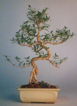 Kahramanmaraş uluslararası çiçek gönderme  ithal bonsai saksi çiçegi  Kahramanmaraş yurtiçi ve yurtdışı çiçek siparişi