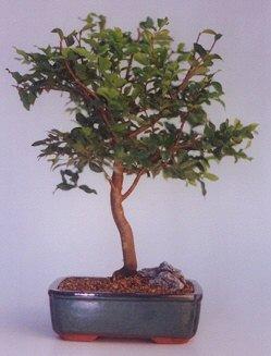 Kahramanmaraş anneler günü çiçek yolla  ithal bonsai saksi çiçegi  Kahramanmaraş çiçek gönderme