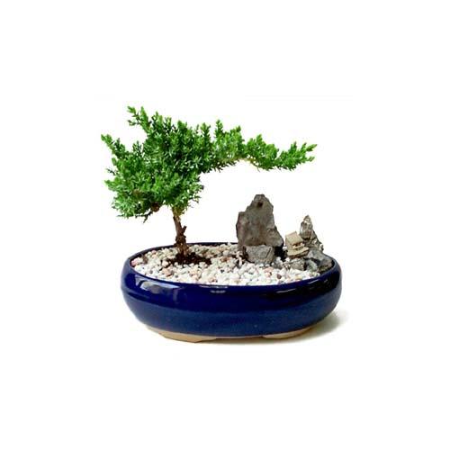 ithal bonsai saksi çiçegi  Kahramanmaraş cicek , cicekci