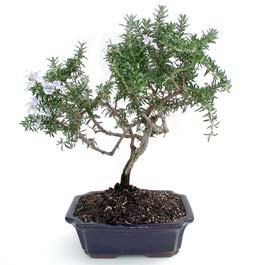 ithal bonsai saksi çiçegi  Kahramanmaraş cicekciler , cicek siparisi