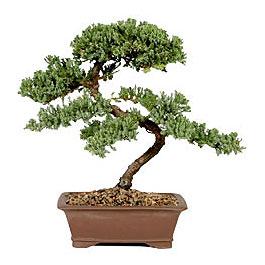 ithal bonsai saksi çiçegi  Kahramanmaraş çiçek siparişi vermek