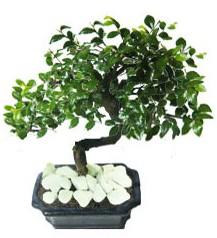 9 yasinda Bonsai agaci  Kahramanmaraş çiçek siparişi sitesi