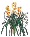 Kahramanmaraş kaliteli taze ve ucuz çiçekler  Orchiede ithal büyük boy saksi