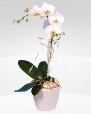 1 dallı orkide saksı çiçeği  Kahramanmaraş internetten çiçek satışı