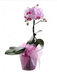 1 dal pembe orkide saksı çiçeği  Kahramanmaraş hediye çiçek yolla