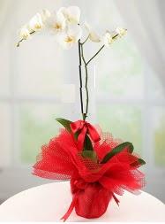 1 dal beyaz orkide saksı çiçeği  Kahramanmaraş çiçek siparişi sitesi