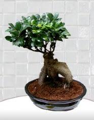 saksı çiçeği japon ağacı bonsai  Kahramanmaraş hediye çiçek yolla