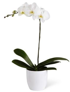 1 dallı beyaz orkide  Kahramanmaraş çiçek yolla
