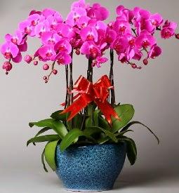 7 dallı mor orkide  Kahramanmaraş çiçek satışı