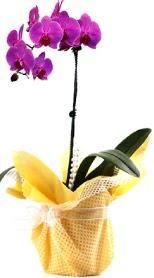 Kahramanmaraş çiçek servisi , çiçekçi adresleri  Tek dal mor orkide saksı çiçeği
