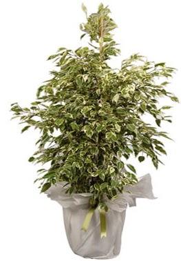 Orta boy alaca benjamin bitkisi  Kahramanmaraş çiçek mağazası , çiçekçi adresleri