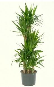 7 li yucca saksı bitkisi  Kahramanmaraş çiçek , çiçekçi , çiçekçilik