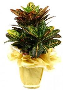 Orta boy kraton saksı çiçeği  Kahramanmaraş çiçek yolla