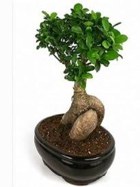 Bonsai saksı bitkisi japon ağacı  Kahramanmaraş çiçek servisi , çiçekçi adresleri