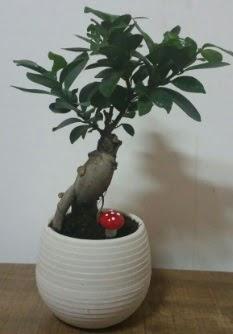 Bonsai japon ağacı saksı çiçeği  Kahramanmaraş çiçek siparişi vermek