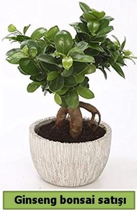 Ginseng bonsai japon ağacı satışı  Kahramanmaraş cicekciler , cicek siparisi