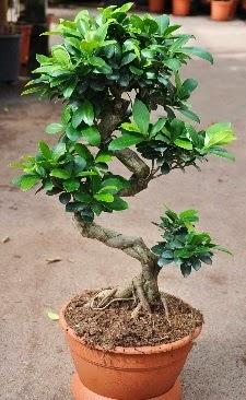 Orta boy bonsai saksı bitkisi  Kahramanmaraş güvenli kaliteli hızlı çiçek