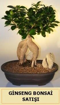 İthal Ginseng bonsai satışı japon ağacı  Kahramanmaraş çiçek servisi , çiçekçi adresleri