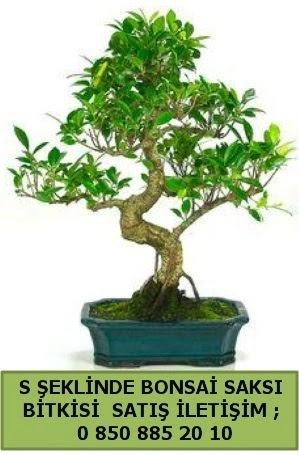 İthal S şeklinde dal eğriliği bonsai satışı  Kahramanmaraş cicek , cicekci