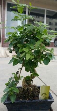 Bonsai japon ağacı saksı bitkisi  Kahramanmaraş yurtiçi ve yurtdışı çiçek siparişi