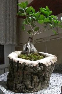 Ahşap kütük içerisinde ginseng bonsai  Kahramanmaraş güvenli kaliteli hızlı çiçek