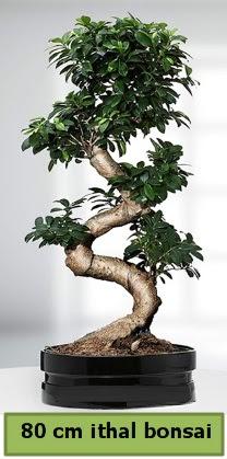 80 cm özel saksıda bonsai bitkisi  Kahramanmaraş cicekciler , cicek siparisi