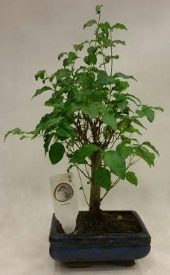 Minyatür bonsai japon ağacı satışı  Kahramanmaraş cicekciler , cicek siparisi